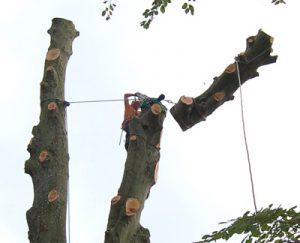 fakivágás kötéllel XVI. kerület