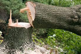 fakivágás veszélyes fák lebontása XVI. kerület